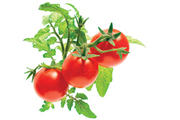 Click And Grow MINI TOMATO REFILLX3