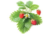 Click And Grow RECHARGE FRAISE photo 2